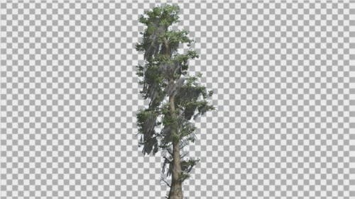 Bald Cypress Tall Tree is Swaying at The Wind