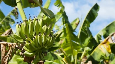Fruits of Bananas on A Banana Tree.