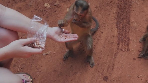 Clever Monkey Snatches Food From Girl's Hands