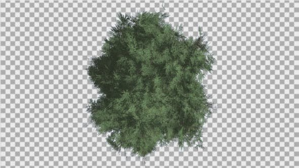 Thumbnail for Cedar Top Down Eastern Red Cedar Strong Tree