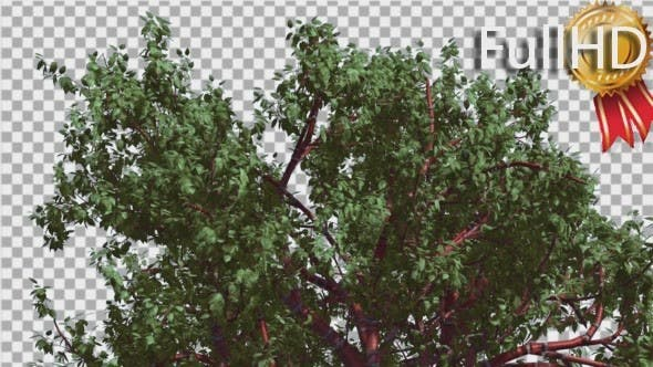 Thumbnail for Tibetan Cherry Top of Tree is Swaying at The Wind