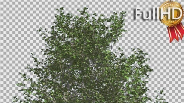 Thumbnail for River Birch Top of Small Tree is Swaying Windy
