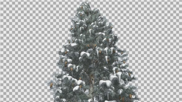 Thumbnail for Blue Spruce Snow on a Branches Tree With Cones