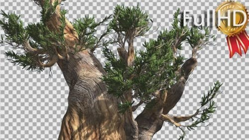 Bristlecone Pine Thick Tree Down Up is Swaying