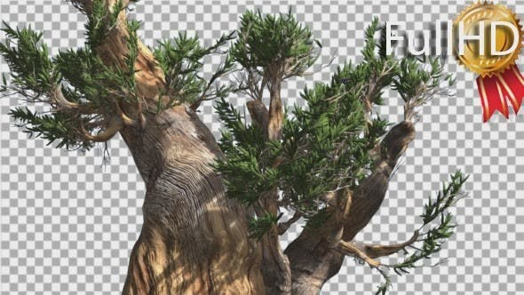 Thumbnail for Bristlecone Pine Thick Tree Down Up is Swaying