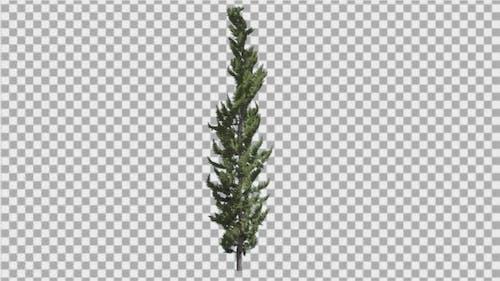 Hollywood Juniper Thin Coniferous Evergreen Shrub