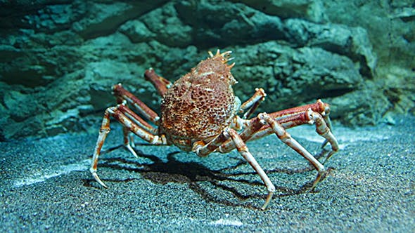 Thumbnail for Japanese Spider Crab