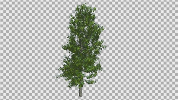 Thumbnail for Sourwood Tree is Swaying at The Wind Green Tree