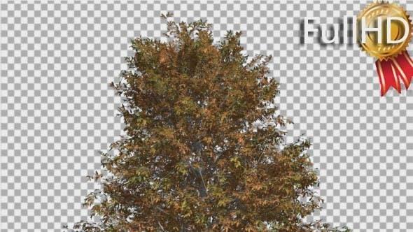 Shingle Oak Top of Thin Tree is Swaying Windy