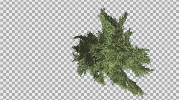 Thumbnail for Hollywood Juniper Curved Tree Top Down Tilts Down