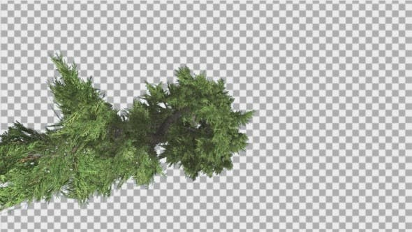 Thumbnail for Hollywood Juniper Top Down Tilts Down Coniferous