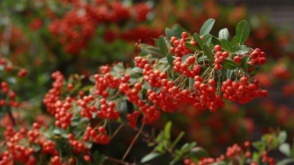Thumbnail for Branch Of Rowan Swings