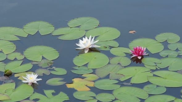 Thumbnail for Three Water Lilies On Pond