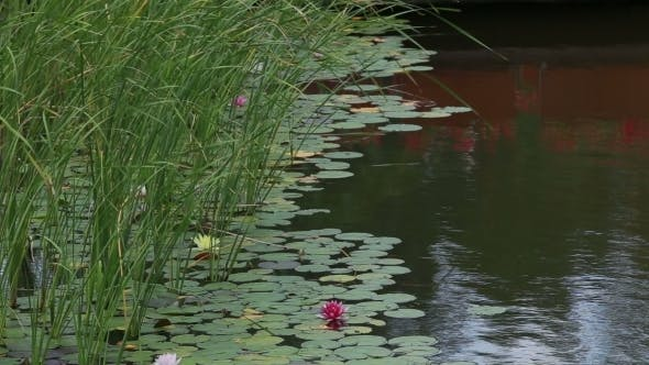Thumbnail for Reeds And Water Lilies 1