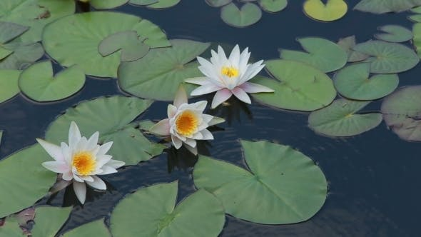 Thumbnail for Three Water Lilies