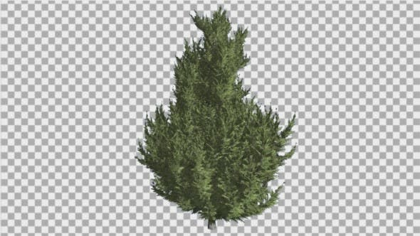 Thumbnail for Hollywood Juniper Branchy Tree Coniferous