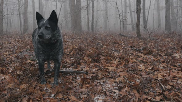 Thumbnail for Close Up of Lost Dog in Forest