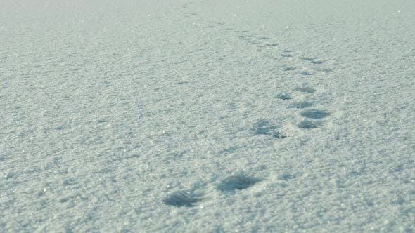 Trace of Wolf on the Snow