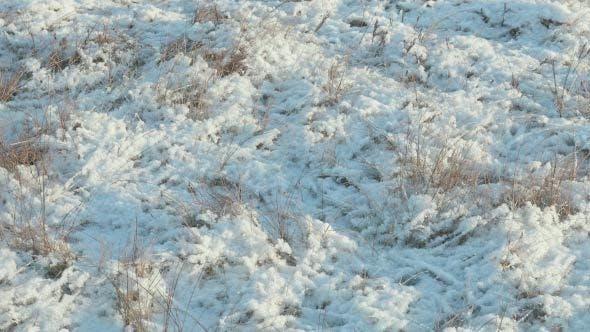 Dried Grass under the Snow