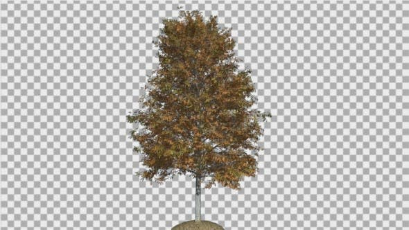 Thumbnail for Shingle Oak Tree is Swaying at The Wind Yellow