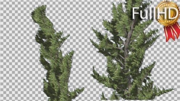 Thumbnail for Hollywood Juniper Two Trees Close Up Coniferous