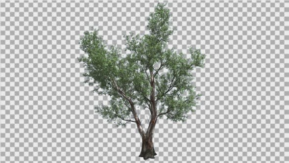 Thumbnail for Red Gum Doubled Trunk Tree Green Leaves Swaying