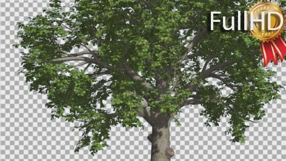 Thumbnail for Broadleaf Tree is Swaying at The Wind Green Tree