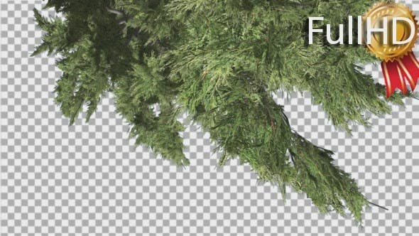 Thumbnail for Hollywood Juniper Top Down is Swaying Coniferous