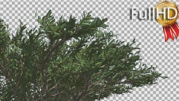 Thumbnail for Umbrella Thorn Top of Crown Tree is Swaying Windy