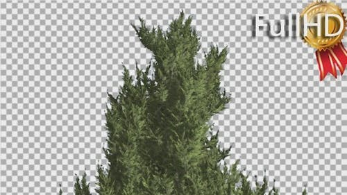 Hollywood Juniper Top of Tree Smooth Weather
