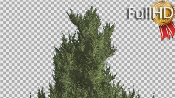 Thumbnail for Hollywood Juniper Top of Tree Smooth Weather
