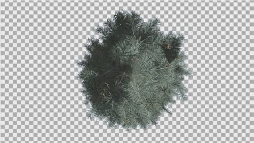 Blue Spruce Top Down Tree is Swaying at The Wind