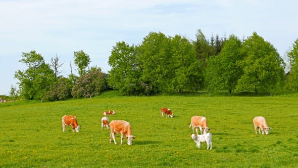 Thumbnail for Cows And Calves Grazing On A Field