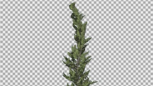 Hollywood Juniper Curved Coniferous Evergreen