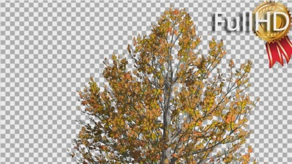 Thumbnail for Sugar Maple Top of Tree is Swaying at The Wind