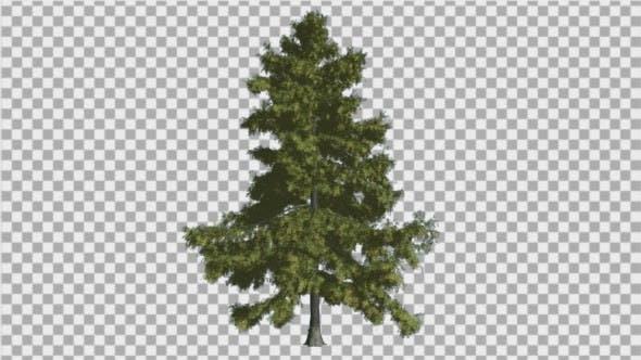 Alaska Cedar Thin Tree is Swaying at The Wind