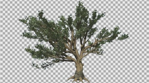 Cedar of Lebanon Tree is Swaying at The Wind