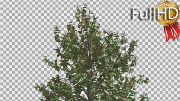 Thumbnail for Southern Magnolia Flowers Top of Tree is Swaying