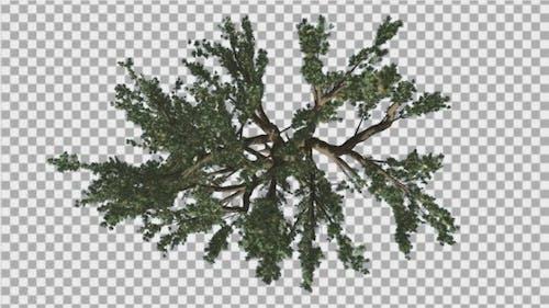 Cedar of Lebanon Crown Top Down Tree Swaying