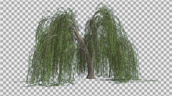Weeping Willow Long Hanging Branches Are Swaying