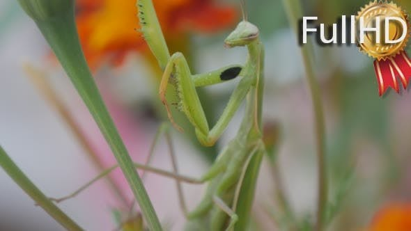 Thumbnail for Green Mantis Insect is Climbing by th Green Stalk