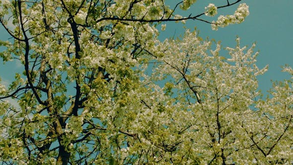 Thumbnail for White Blooming Trees