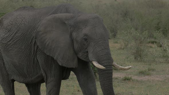 Thumbnail for African elephant eating