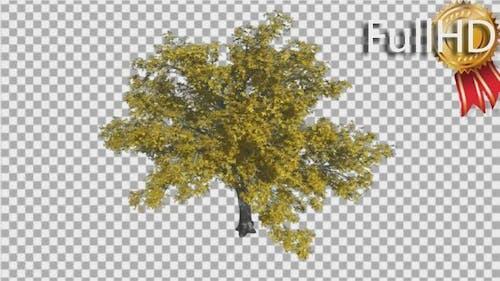 American Elm Ulmus Americana Yellow Leaves