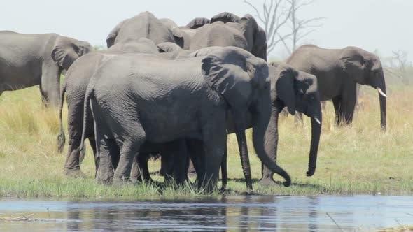 herd of African elephants on waterhole in african bush