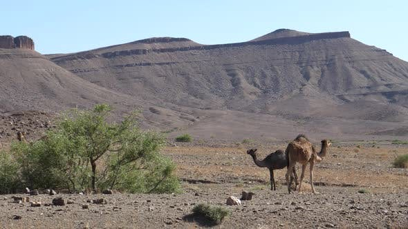 Cover Image for Herd of dromedary camels around a bush