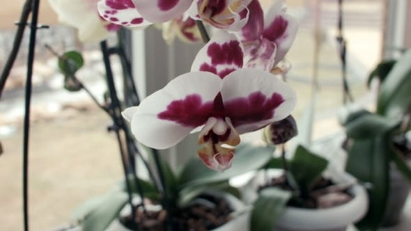 Thumbnail for Orchid Flowers On a Window Sill