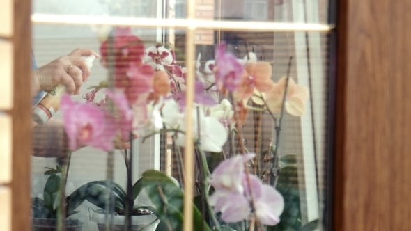 Female Sprays Fertilize Orchids At a Window