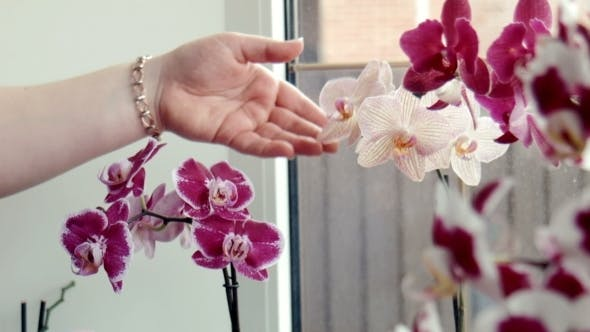 Thumbnail for Woman Waters, Sprays Orchids At a Window