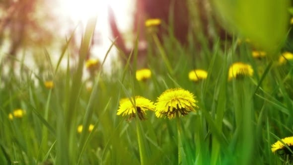 Thumbnail for Dandelions In The Meadow